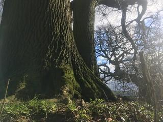 oak trunk in lane