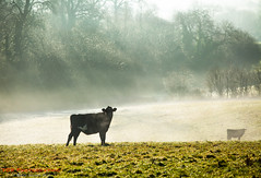 In the Stour Meadows (TDR Photographic) Tags: canon dorset england riverstour thedorsetrambler uk cow eos5d grazing landscape light meadow morning possibles