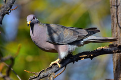"""Band-tailed_Pigeon_01 (DonBantumPhotography.com) Tags: wildlife nature animals birds bandtailedpigeon earlyspring """"donbantumphotographycom"""" """"donbantumcom"""" """"nikon d7200"""" """"afs nikkor 200500mm f56e ed vr"""""""