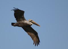 brown_pelican_flight