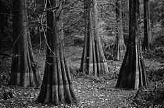 forest of cypress (HiroAranoJPN) Tags: nikonf planar1485zf2 trix400 nature fukuoka film blackandwhite forest wood cypress