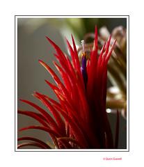 (2688) Tillandsia ionantha fuego (Air Plant) (QuimG) Tags: tillandsias macro natura nature naturaleza flors flowers flores quimg quimgranell joaquimgranell
