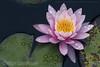 Flor de Lotus (Stefan Lambauer) Tags: flordelotus lotus flower amantikir macro detail waterdrops garden nelumbonucifera jardins parque park lago camposdojordão stefanlambauer 2018 brasil brazil sãopaulo br