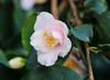 Kamelie (LuckyMeyer) Tags: botanical garden rosa green pink flower fleur blume blüte makro plant