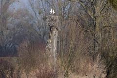 Storchennest (ivlys) Tags: deutschland allemagne germany biebesheim rhein rhine fluss river wiese meadow storch stork vogel bird tier animal nest landschaft landscape natur nature ivlys