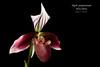 Paphiopedilum purpuratum HCC/AOS (Orchidelique) Tags: nature plant flower exotic orchid species paphiopedilum paph purpuratum hcc aos ncjc 20184813