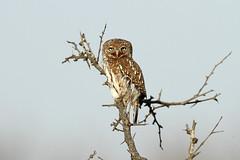 Glaucidium perlatum (Pearl-spotted Owlet) - South Africa (Nick Dean1) Tags: glaucidiumperlatum owlet pearlspottedowlet raptor owl krugernationalpark thewonderfulworldofbirds birdperfect birdwatcher animalia chordata aves