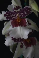 Orchid #05 (Az Skies Photography) Tags: canon eos 80d canoneos80d eos80d canon80d january 2018 rio rico arizona az riorico rioricoaz flower flowers orchid orchids bloom blossom orchidflower orchidflowers plant 7 january72018 172018 1718