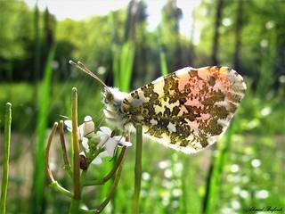 Butterfly 1552