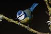 063.jpg (Kico Lopez) Tags: miño lugo spain feeder galicia herrerillocomún birds cyanistescaeruleus aves rio