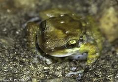 """10-Descubren una vacuna a partir de culito de rana! La vacuna actúa en menos de 36 horas, corroborando que """"si no te sanas hoy, te sanarás mañana""""!! Que bien, estamos frente al primer culito que sana! (Cimarrón Mayor 12,000.000. VISITAS GRACIAS) Tags: kingdomanimalia phylumchordata classamphibia orderanura familyeleutherodactylidae genuseleutherodactylus speciesealcoae statusendemicadelahispaniolayamenazadaporperdidadesuhabitat endémica amenazada binomialnameeleutherodactylusalcoae ranadelasrocksdebarahona barahonarockfrog eleutherodactylusalcoae statusendangered lugardecapturaislabeata repdominicana dominicanrepublic quisqueya repúblicadominicana caribe républiquedominicaine caraïbes caraibi repubblicadominicana dominikanischerepublik karibik karaiby dominikana dominikarerrepublika karibe dominikanskerepublik caribien dominikanskerepublikk karibien доминиканскаяреспублика карибскийбассейн cimarrónmayor panta pantaleón josémiguelpantaleón objetivo500mm telefoto700mm 7dmarkii canoneos canoneos7dmarkii naturaleza libertad libertee libre free fauna dominicano montañas"""