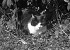 Black and White Cat BW (Daisy Waring World) Tags: cat blackandwhitecat garden shrubbery