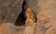 Burrowing Owls-8 (jmadjedi) Tags: bird bir owl burrowingowl