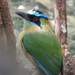2573e Blue-Crowned Motmot thumbnail