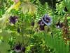 CKuchem-5948 (christine_kuchem) Tags: akelei blüte blüten farn garten insekten nahrung natur naturgarten nektar pflanze privatgarten schatten schattengarten selbstaussaat sommer wildpflanze dunkel lila naturnah natürlich wild zweifarbig