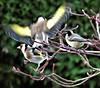 The garden:  Goldfinch lands on acer (ronmcbride66) Tags: garden thegarden goldfinch coaltit acer landing gardenbirds avian coth5