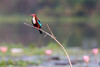 Sitting Pretty! (JohnKuriyan) Tags: kumarakom kerala india in whitethroated kingfisher