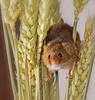 Harvest Mouse 1 (ralphashton) Tags: nature fur explore eyes wheat peering harvestmouse harvestmice tiny corn