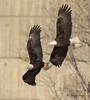 Bald Eagles in Flight (Angie Vogel Nature Photography) Tags: eagle eagles baldeagles eaglesinflight raptors birdsofprey wildlife thedalleslockanddam eaglefest