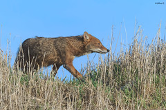 Golden jackal (Dave 5533) Tags: goldenjackal mammals outdoor naturephotography nature wildlifeinisrael wildlife wildlifephotography canoneos1dx canonef300mmf28 animalplanet animal 10award