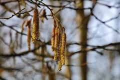 Frühlingsboten (Hugo von Schreck) Tags: hugovonschreck flower blüte spring frühling macro makro tamron28300mmf3563divcpzda010 canoneos5dsr
