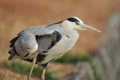 Grey heron (Teruhide Tomori) Tags: bird greyheron animal kyoto japan aquaticbird wild nature アオサギ 野鳥 日本 野生 鳥 japon evening winter