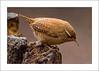 Wren  (Troglodytes troglodytes) Pennington Flash Country Park, Lancashire (prendergasttony) Tags: wren bird avian rspb nature wildlife nikon d7200 tony prendergast outdoors pennington lancashire england country park animal lizard wood macro caves cave hermit