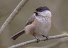 DSC1561  Willow Tit.. (jefflack Wildlife&Nature) Tags: willowtit willow tits tit birds avian animal animals wildlife wildbirds wetlands woodlands farmland forest hedgerows countryside copse songbirds nature