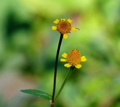 Wild flower - Kazirang - Eastern Himalayas (forest venkat) Tags: flower bird macro park photo please plant friend forest
