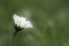 cheveux d'ange (christophe.laigle) Tags: pluie christophelaigle fleur macro gouttes pâquerette blanc flower fuji nature daisy raindrops xpro2 xf60mm white