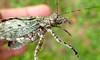 Unknown Katydid (Ahmad Fuad Morad) Tags: katydid orthoptera tettigoniidae