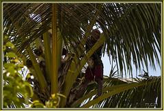 Plantaciones de Cultivos locales, kALIBURU, INDONESIA (Fotocruzm) Tags: fotocruzm mcruzmatia plantacionesdecultivoslocales indonesia kaliburu java cafetales palmeras cacao
