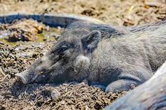 Sun bathing on a brutally hot day. (savonnaslessley) Tags: canoneos5dmarkiii ef70200mmf28lisiiusm pig tusk fur pittsburghzoo pittsburghzooandppgaquarium pittsburgh sleeping tired dirt mud visayanwartypig