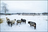 In the Blue Hour (Eline Lyng) Tags: gammelnorskspælsau norway farmanimal farm winter bluehour wideangle mediumformat leica s 007 leicas superelmars24mm 24mm 18mm