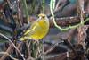 Männlicher Grünfink - Male greenfinch (riesebusch) Tags: berlin garten marzahn vögel
