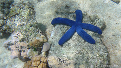 Blue Starfish on the Great Barrier Reef P9070114 Lizard Island AU HD (www.PhotographsFromNature.com) Tags: australia coralreef echinoderm greatbarrierreef lizardisland photographerjaycossey starfish tropical underwater