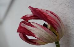 TULIP (Fimeli) Tags: nature flower flora flowerpetals tulip tulpe colors blütenblätter macro