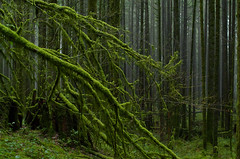 Damp Moss (Kristian Francke) Tags: tree green outdoors nature natural bc canada british columbia pentax vine maple trees forest photography landscape landscapephotography