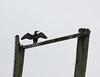 Spread-wing posture (Japhile) Tags: cormorant kormoran rostock ostsee warnow winter flügel spreadwing gehlsdorf vogel bird ornithology ornithologie schwarz