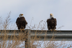 Bald Eagle pair poses for pictures