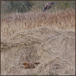The Fox And The Marsh Harrier (image 3 of 3)