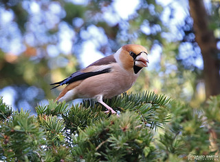 DSP01915 - Hawfinch ♂ (Coccothraustes coccothraustes)