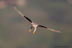 Final approach - IMG_4312-2 (arvind agrawal) Tags: whitetailedkite kite birdinflight birdofprey hayward raptor finalapproach canon1dx canon 600m canon600mm arvindagrawal