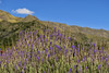 Lavanda (Paola Ramirez Photography) Tags: wildflower meadow spring uncultivated carpathian heather springtime castelluccio flowering norcia countryside indianpaintbrush