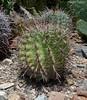 Twisted Barrel Cactus ferocactus herrerae (LennyWorthington) Tags: ferocactus herrerae