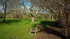 """Date Plum"" Trees...Diospyros Lotus (standhisround) Tags: trees tree benchmonday bench seats seat nature park gardens royalbotanicalgardens hbm winter kewgardens kew london uk england grass scenic"