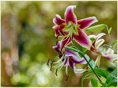 Lilium (Francesca D'Agostino) Tags: lilium fiore flower colori colors