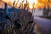 18-02-21 sonauf beere schwarz flu dsc09200-1 (u ki11 ulrich kracke) Tags: beereschwarz bokeh flucht garten nah sonnenaufgang zweig
