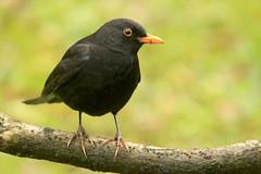 Xoxoa (josuneetxebarriaesparta) Tags: xoxoa zozoa mirlo tordusmerula txoria ave pájaro hegaztia bird animalia