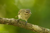 Julián Chiví, Black-whiskered Vireo (Vireo altiloquus) (Gogolac) Tags: 2018 aves bird birdphotography birdie birds blackwhiskeredvireo canon7dmii fauna invierno juliánchiví location season vireoaltiloquus winter year birdspot birdingrd birdsspotters republicadominicana